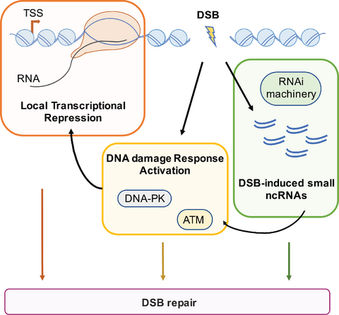 Express or repress? The transcriptional dilemma of damaged chromatin. Francia, d'Adda di Fagagna and colleagues (2017) The FEBS Journal, DOI: 10.1111/febs.14048