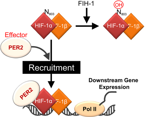 5A circadian clock gene, PER2, activates HIF-1 as an effector molecule for recruitment of HIF-1α to promoter regions of its downstream genes. Harada and colleagues (2017) The FEBS Journal, doi: 10.1111/febs.14280