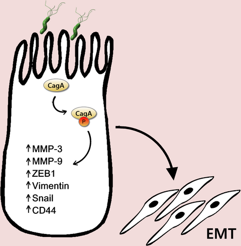 Helicobacter pylori CagA protein induces factors involved in the epithelial to mesenchymal transition (EMT) in infected gastric epithelial cells in an EPIYA- phosphorylation-dependent manner. Sougleri, I. et al. (2016) FEBS J 283, 206–220