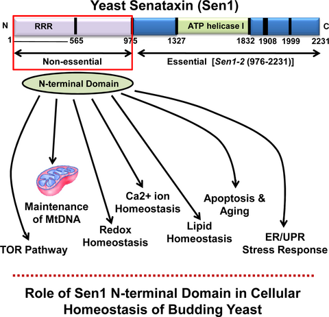 Sen1, the homolog of human Senataxin, is critical for cell survival through regulation of redox homeostasis, mitochondrial function, and the TOR pathway in Saccharomyces cerevisiae.  Tomar and colleagues (2016) The FEBS Journal, doi: 10.1111/febs.13917
