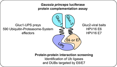 Mapping the interactome of HPV E6 and E7 oncoproteins with the ubiquitin-proteasome system.  Masson and colleagues (2017) The FEBS Journal, doi: 10.1111/febs.14193