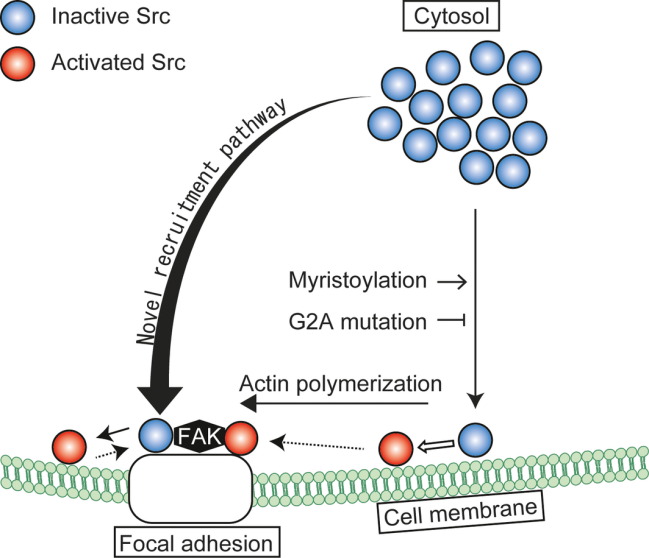 A novel c-Src recruitment pathway from the cytosol to focal adhesions. Fujita and colleagues (2017) FEBS Letters, DOI: 10.1002/1873-3468.12696