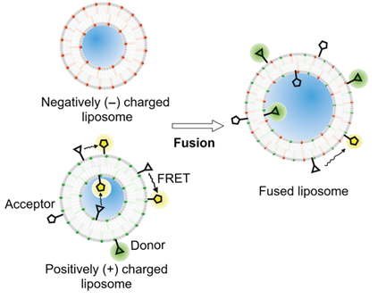 Delivery of membrane proteins into small and giant unilamellar vesicles by charge-mediated fusion. Von Ballmoos C. and colleagues (2016) FEBS Letters, doi: 10.1002/1873-3468.12233