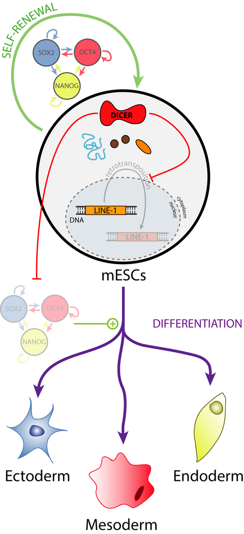 Dicer, a new regulator of pluripotency exit and LINE-1 elements in mouse embryonic stem cells.  Ciaudo. C. and colleagues (2017) FEBS Open Bio, DOI: 10.1002/1873-3468.12551
