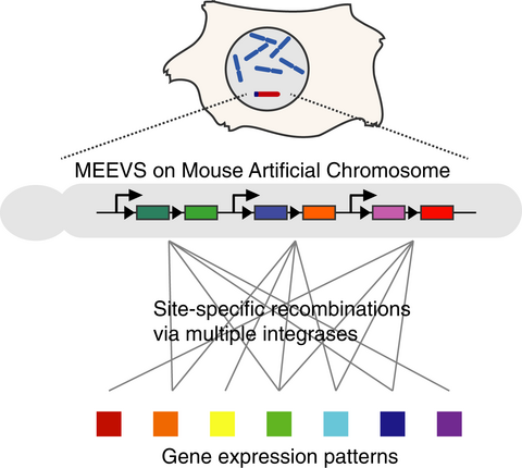 Multiple expression cassette exchange via TP901-1, R4 and Bxb1 integrase systems on a mouse artificial chromosome. Ohbayashi T. and colleagues (2017) FEBS Open Bio, DOI: 10.1002/2211-5463.12169