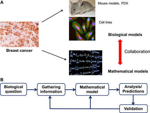 Epithelial/mesenchymal plasticity: how have quantitative mathematical models helped improve our understanding? Levine. H and colleagues  (2017) Molecular Oncology, doi: 10.1002/1878-0261.12084